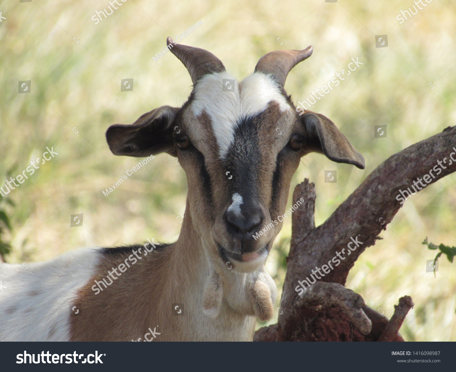 stock-photo-cute-small-goat-facing-the-c