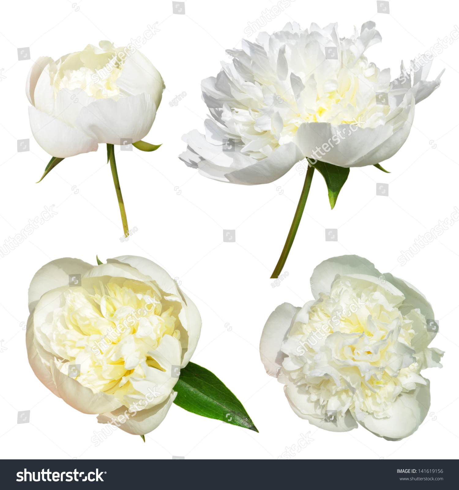 Isolated White Peonies Flowers On White Stock Photo Edit Now