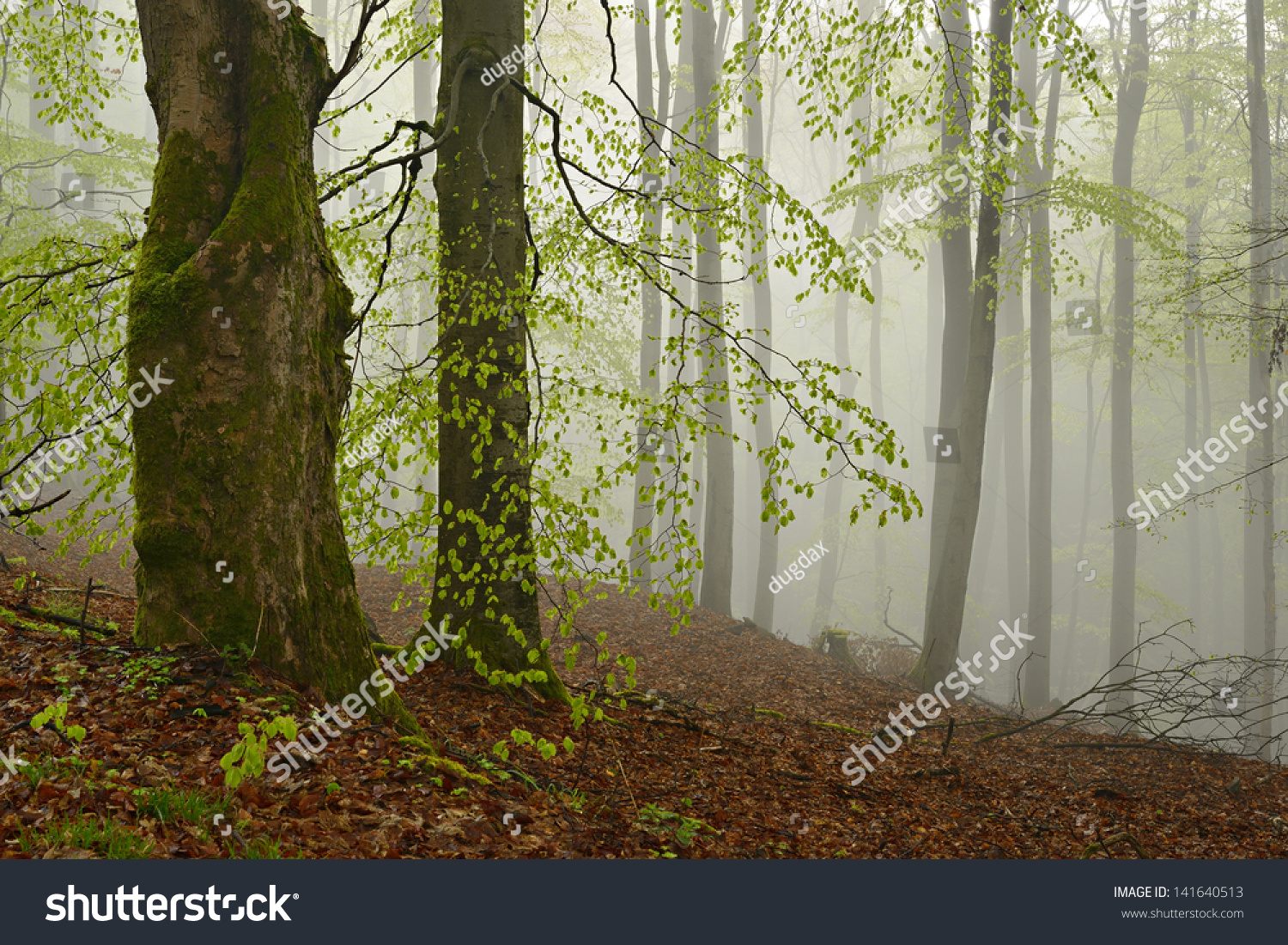 Beech Maple Forest ~ Foggy forest beech maple trees early stock photo