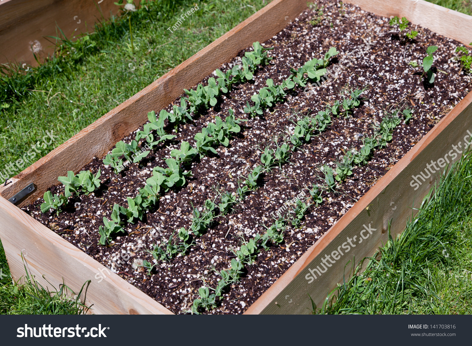 A Wooden Raised Garden Bed With Rows Of Pea Plants Growing