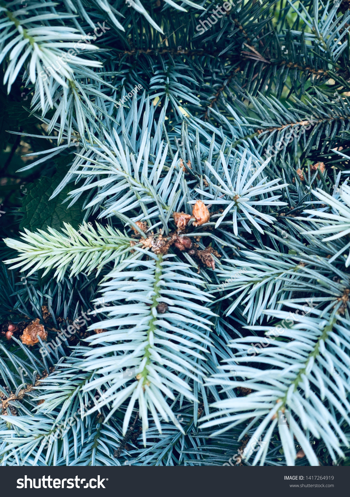 stock-photo-sweet-blue-spruce-background