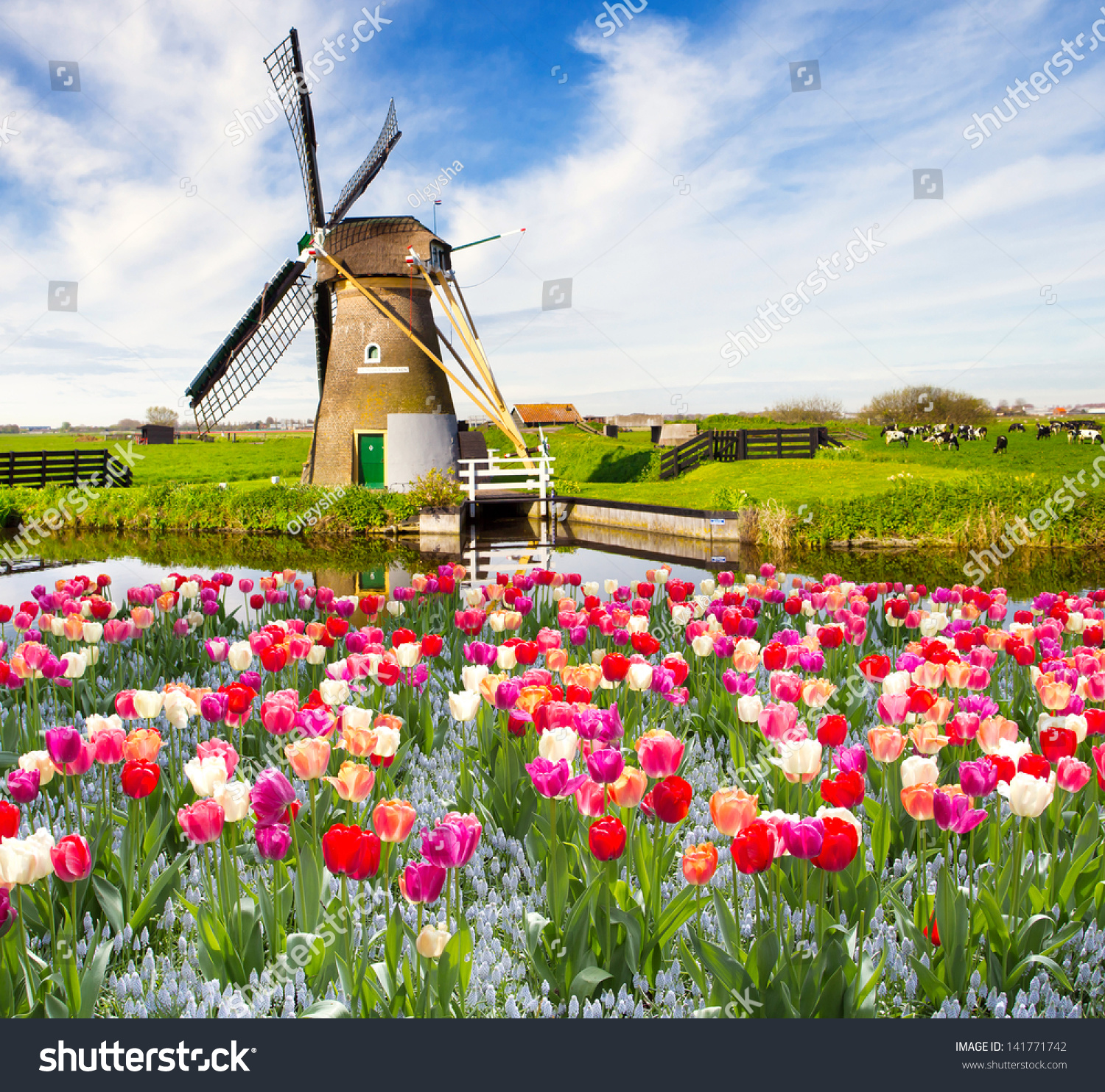 Windmill With Tulips In Holland Stock Photo 141771742 : Shutterstock