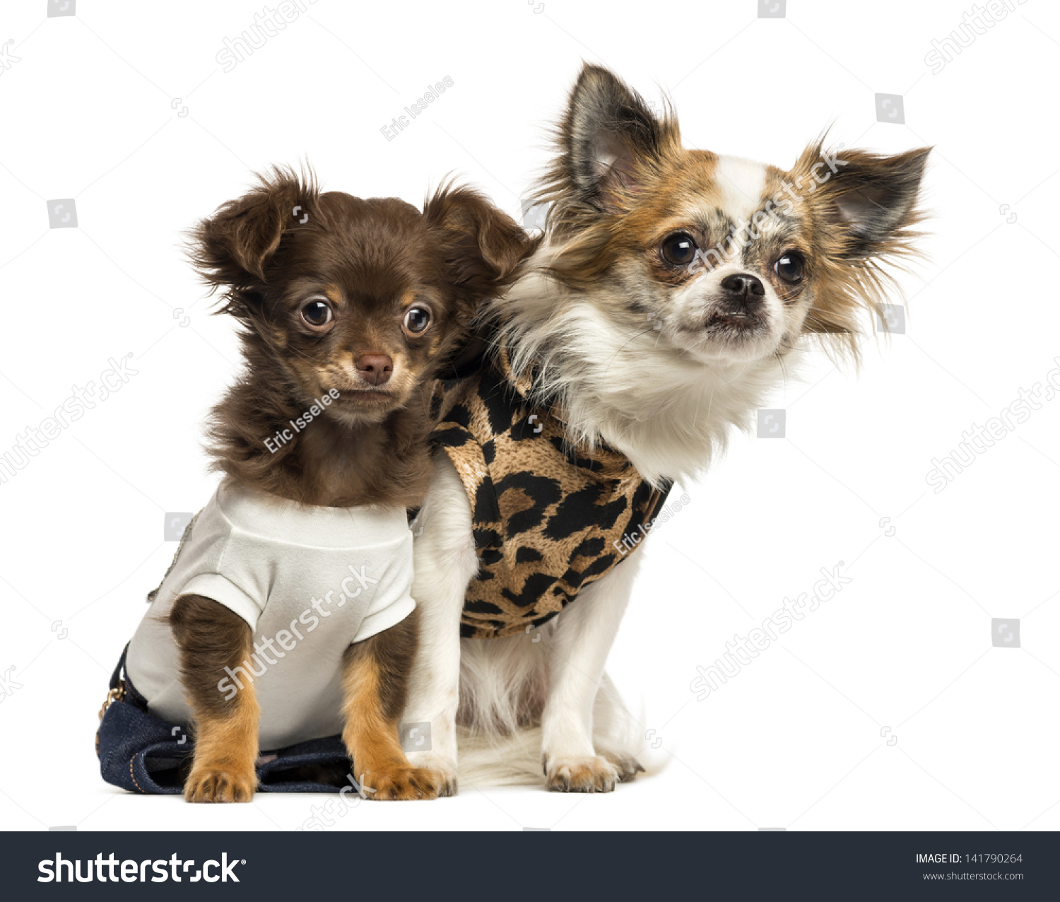 Dressed Up Chihuahua Puppies Sitting 3 And 9 Months Old Isolated