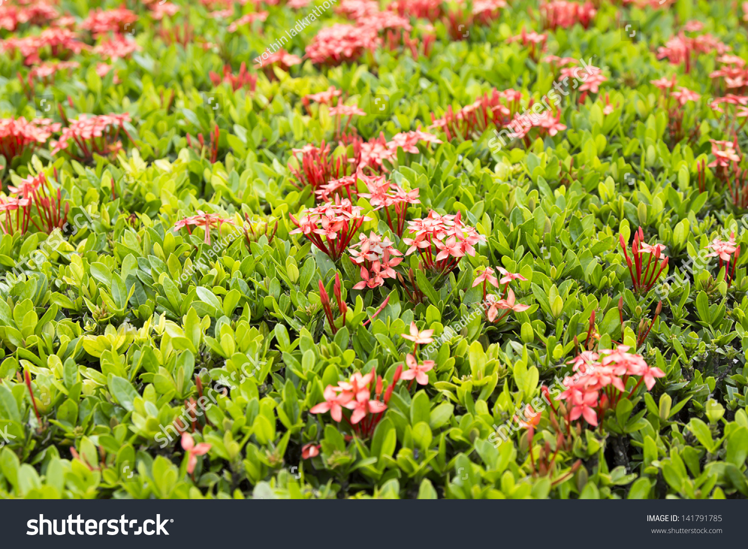 Beautiful west indian jasmine flower garden stock photo edit now beautiful west indian jasmine flower in the garden izmirmasajfo