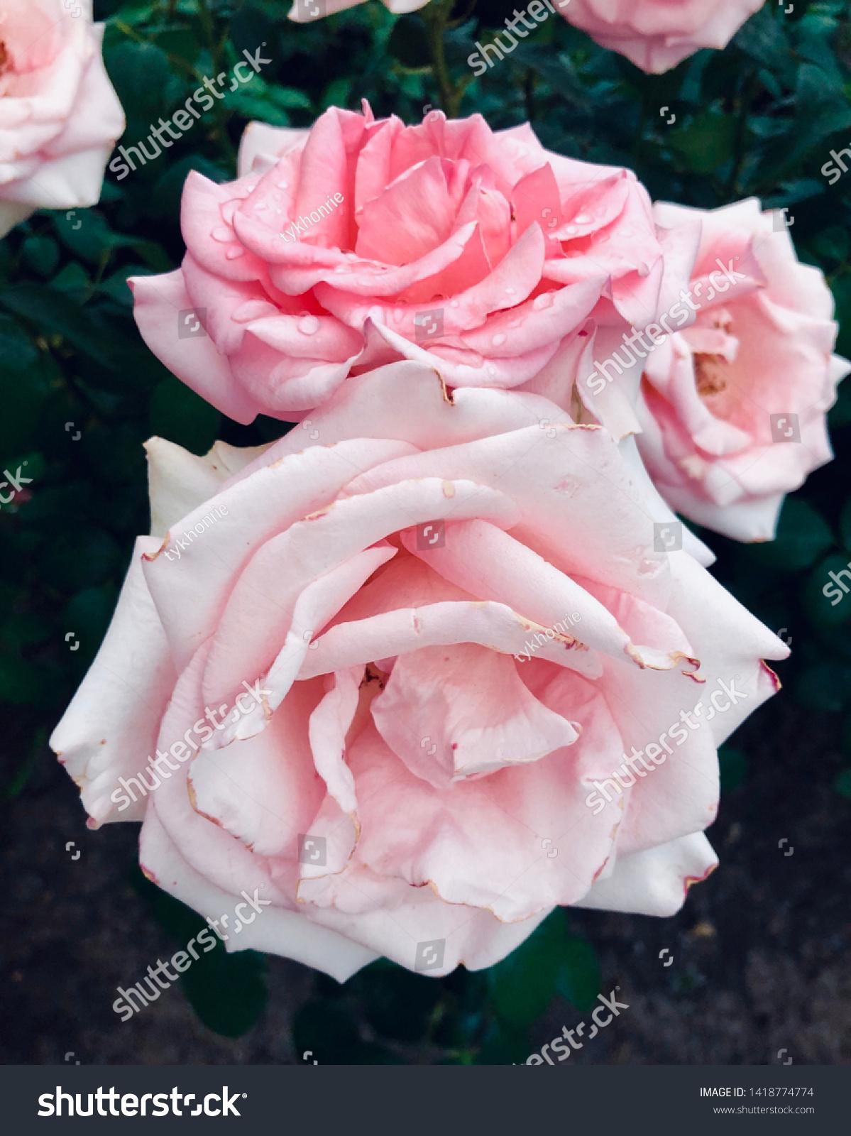 stock-photo-pink-rose-flower-pattern-pho