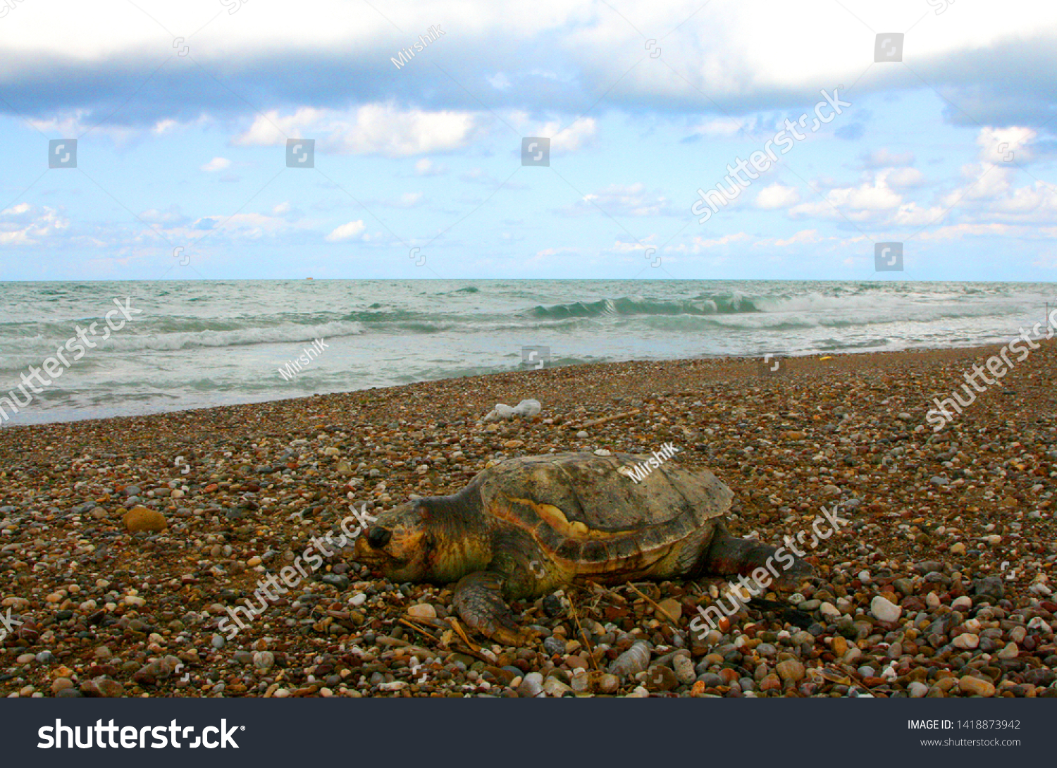 Wounded in the ocean turtle, swam to shore and died on the shore. #1418873942