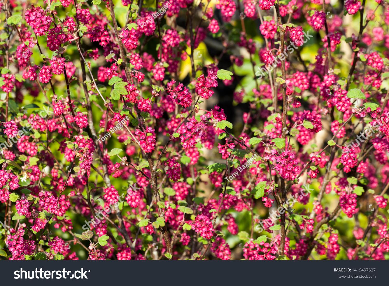 Ribes Sanguineum Koja Early Spring Dark Stock Photo Edit Now