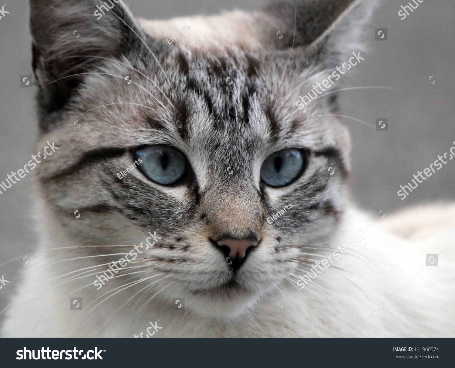 Head Beautiful Grey Cat Blue Eyes Stock Shutterstock