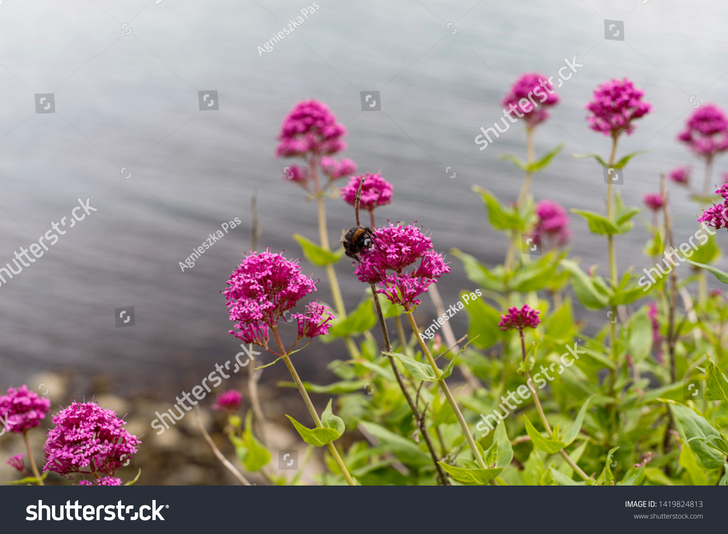 stock-photo-bumblebee-on-flower-of-centr