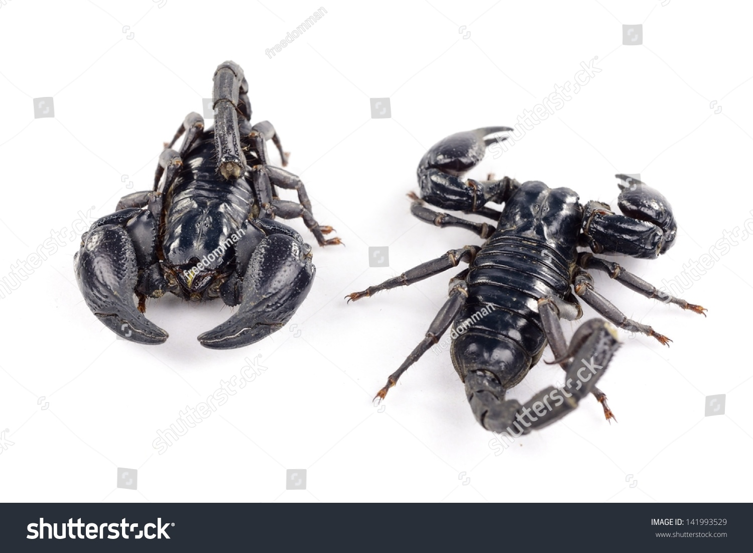 Black scorpion on white backgroun