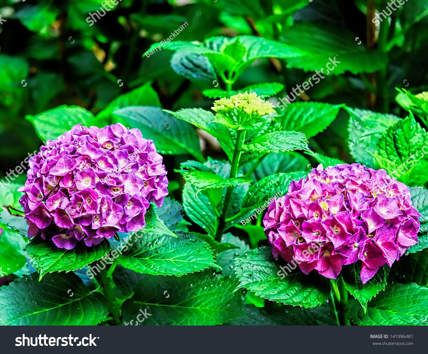 Two Very Colorful Purple Violet Hydrangea Stock Photo (Royalty Free ...