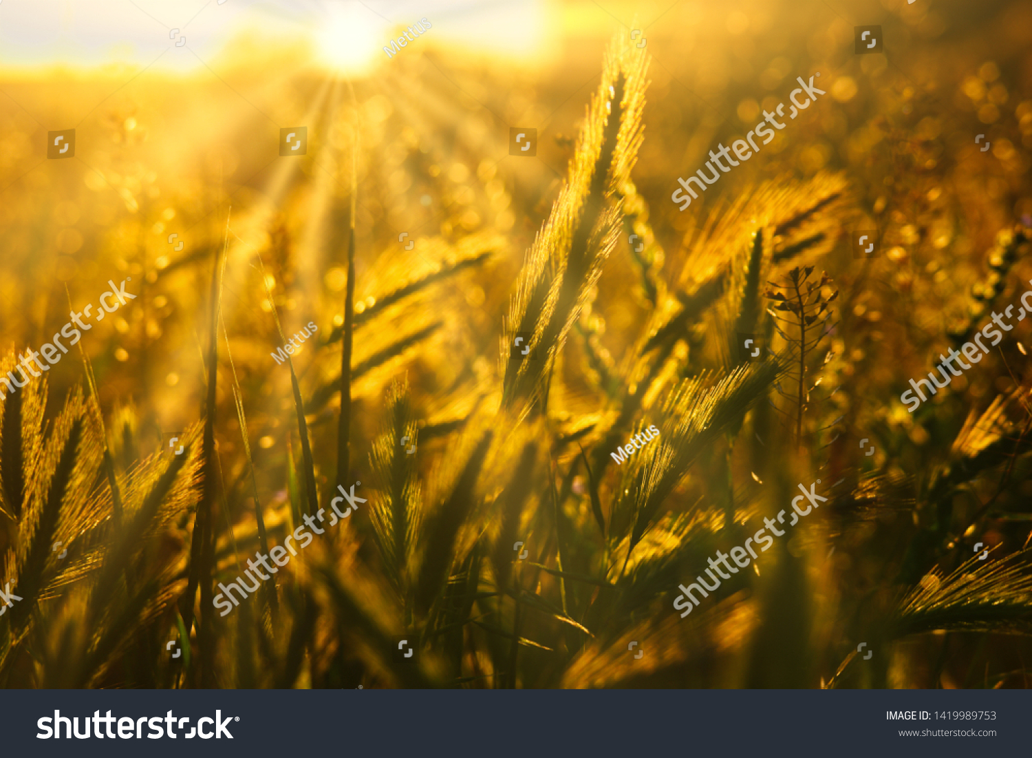 stock-photo-wild-grass-backlit-by-settin