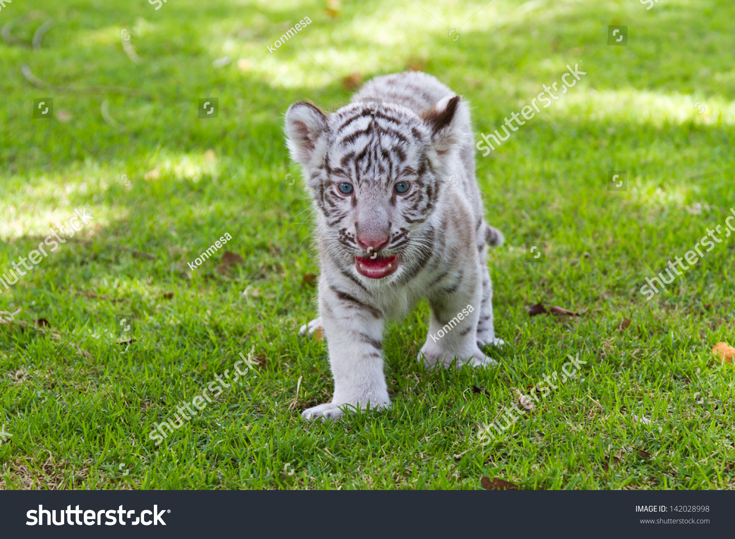 Baby white tiger pictures Black Rebel Motorcycle Club - On Tour Soon