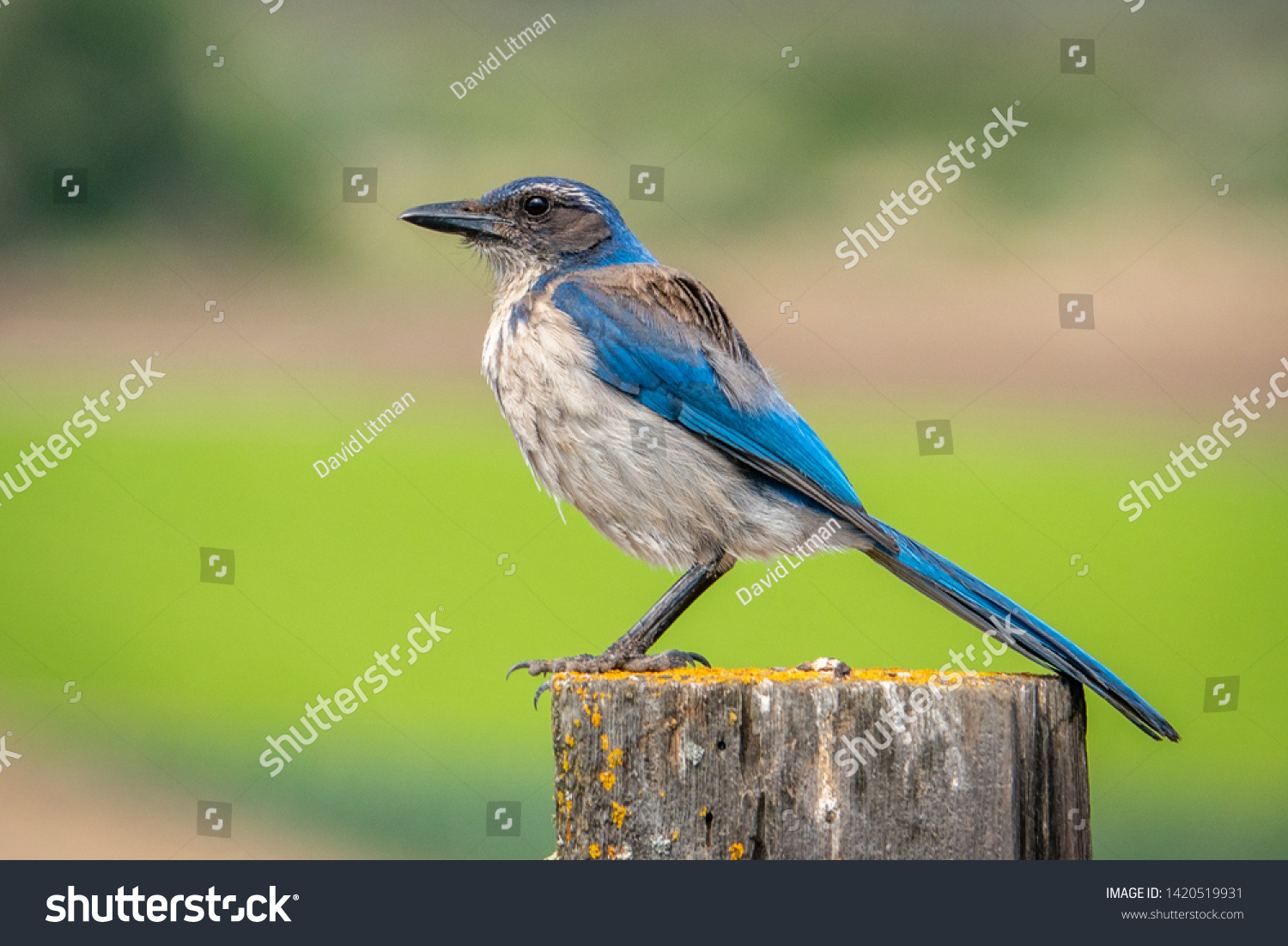The California scrub (blue) jay ( Aphelocoma californica) ranges from southern British Columbia throughout California and western Nevada near Reno to west of the Sierra Nevada.