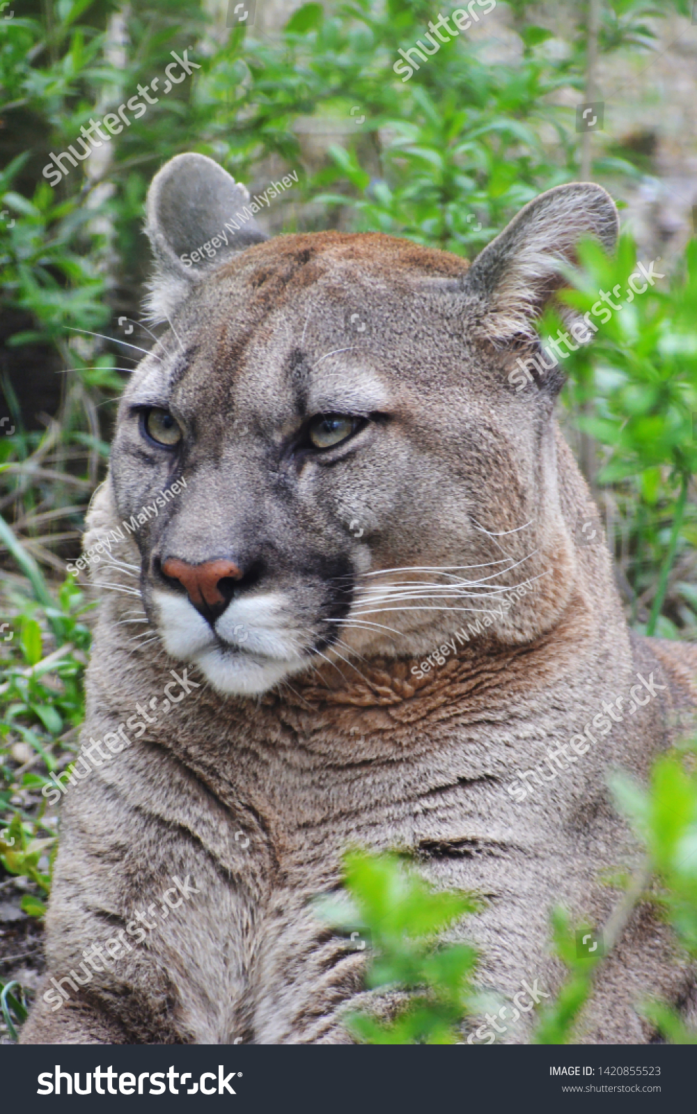 American big cat - Puma, with looks good and fluffy but not in America a more dangerous predator and bloodthirsty #1420855523