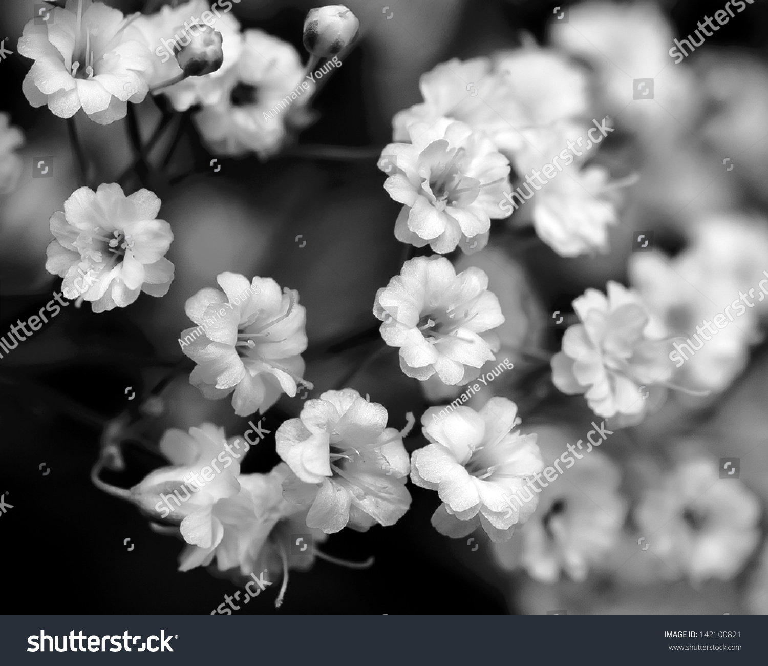 Black To Black Flowers 4: Black White Flowers Babys Breath Stock Photo 142100821