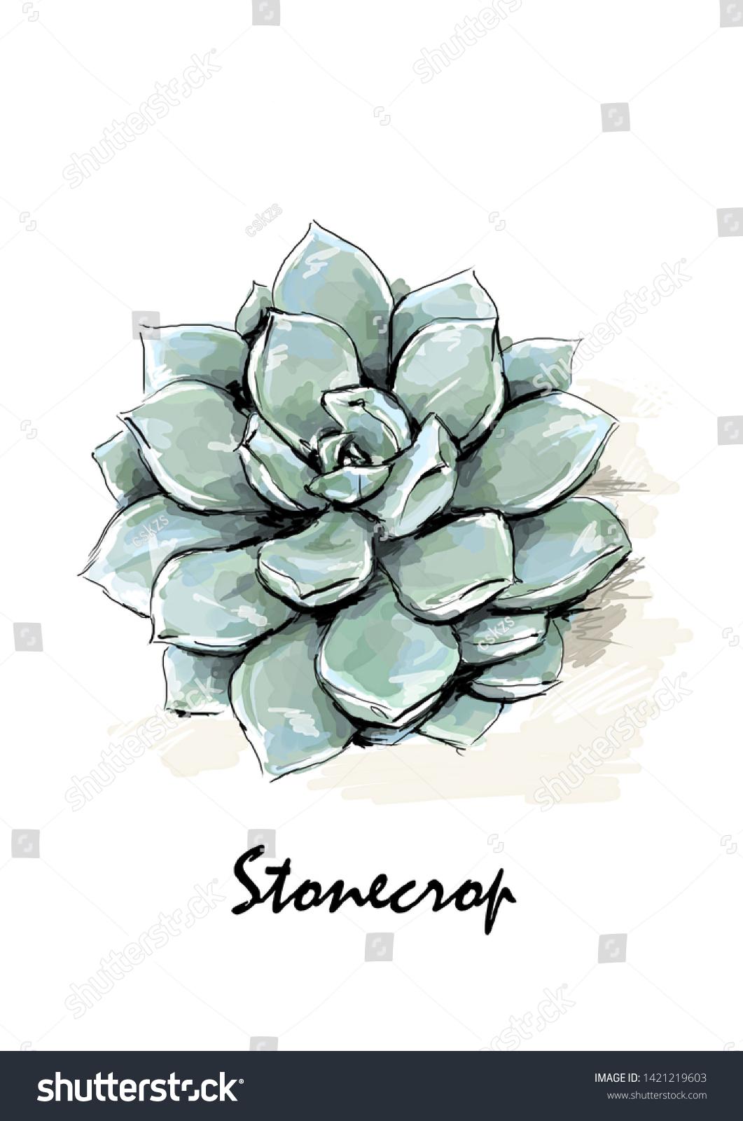 Stonecrop Plant Illustration Digital Watercolor Stock Illustration 1421219603