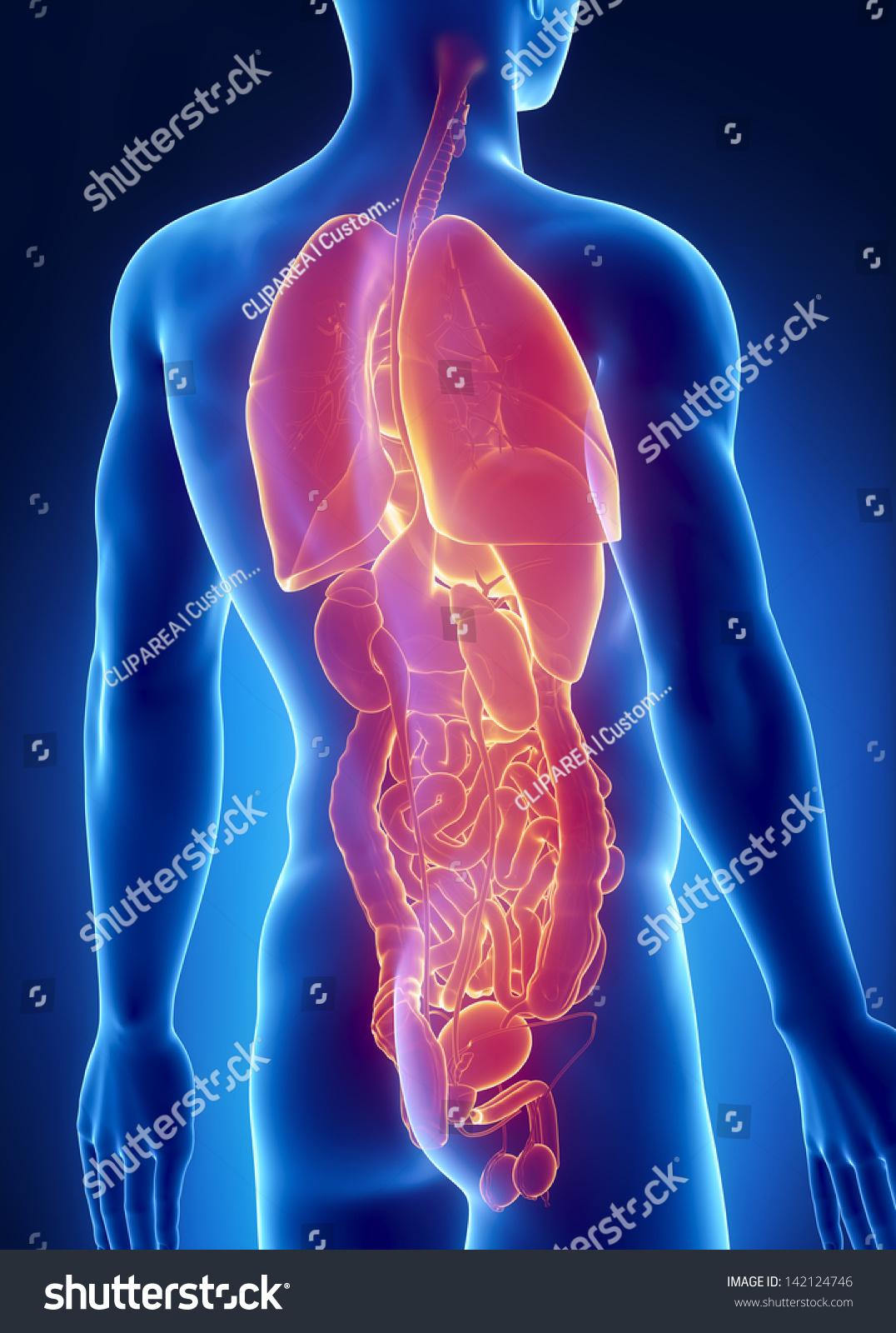 Royalty Free Stock Illustration Of Man Organs Anatomy Posterior Xray