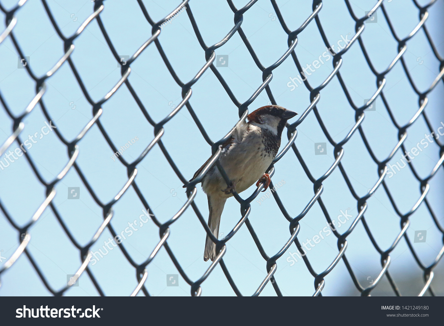 Sparrow is the name given to non-migratory, conic-billed bird species that form the Passeridae family, living in close proximity to humans. #1421249180