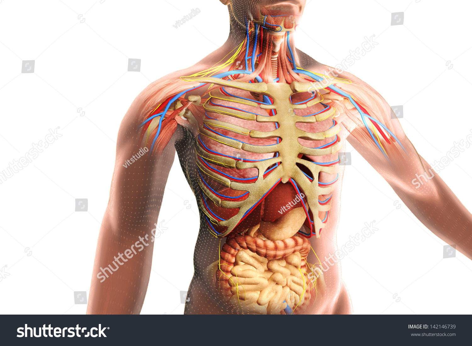 Stock Photo Human Body With Internal Organs  posite By Stomach Liver Pancreas Spleen Lung Kidney Colon