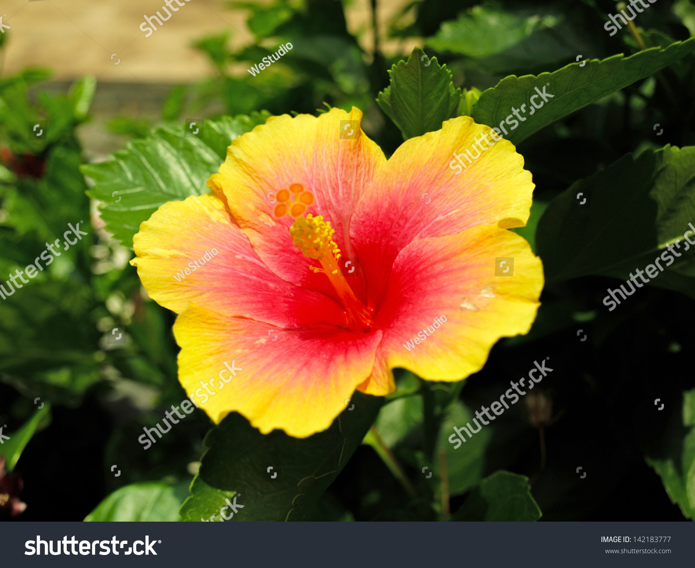 Fresh Hibiscus Yellow Flower Garden Stock Photo Edit Now 142183777