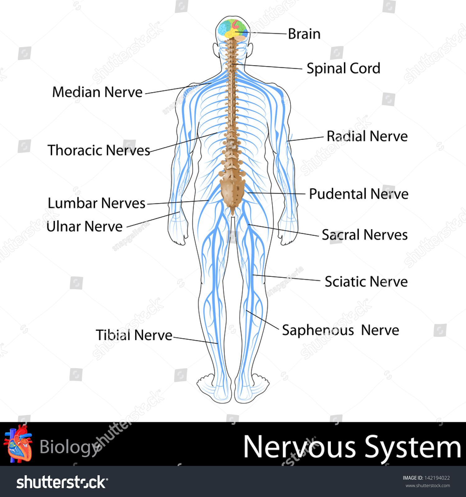 Easy Edit Vector Illustration Nervous System Stock Royalty Brain Diagram To Of