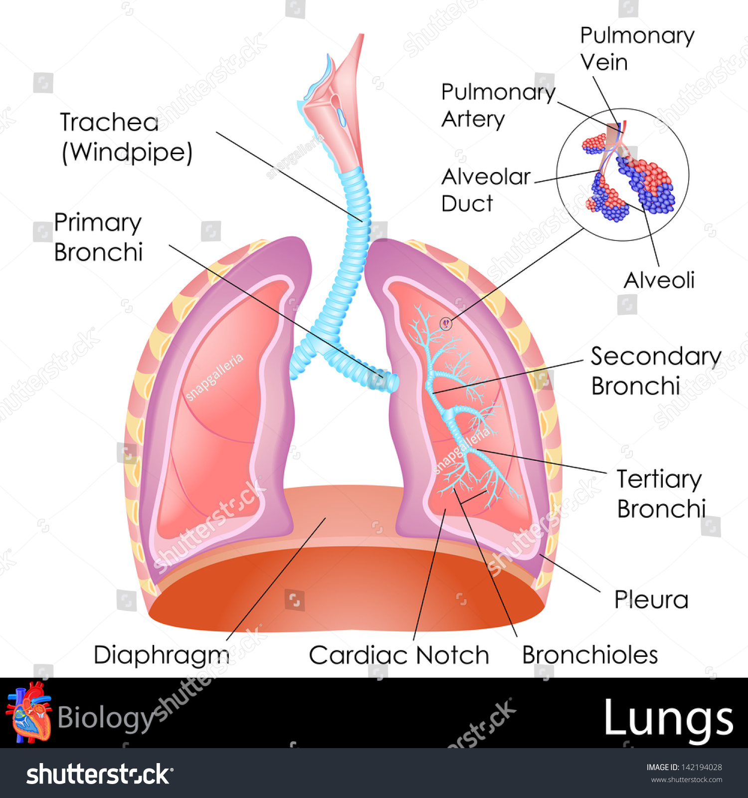 Easy Edit Vector Illustration Human Lungs Stock Vector Royalty Free