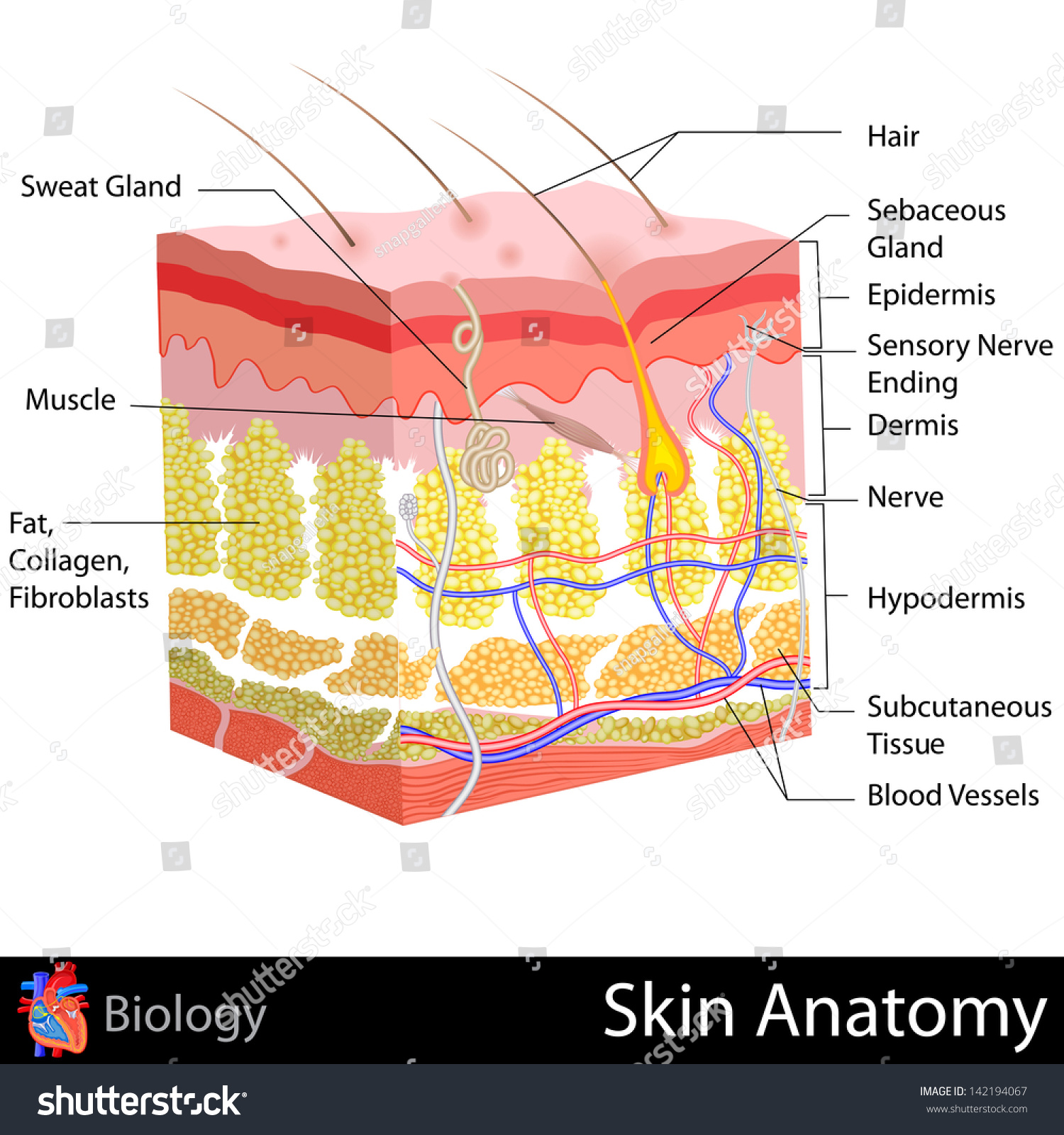 Easy Edit Vector Illustration Skin Anatomy Stock Vector (2018 ...