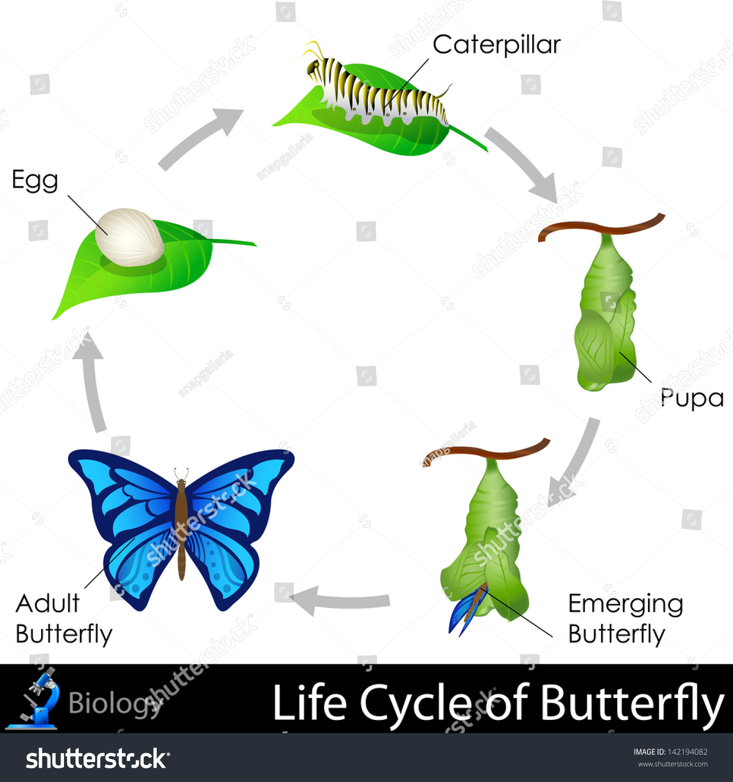 easy to edit vector illustration of lifecycle of butterfly diagram    save to a lightbox