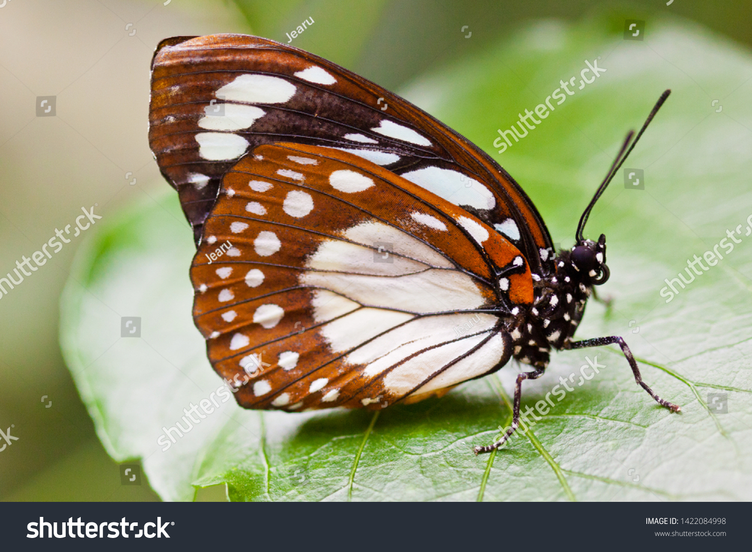 Bộ sưu tập cánh vẩy 4 - Page 24 Stock-photo-common-forest-queen-euxanthe-eurinome-1422084998
