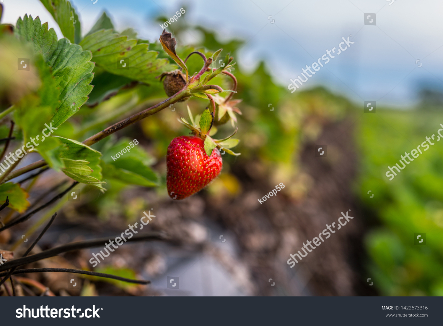 Fresh red Strawberry on the field, summer light, edit space #1422673316