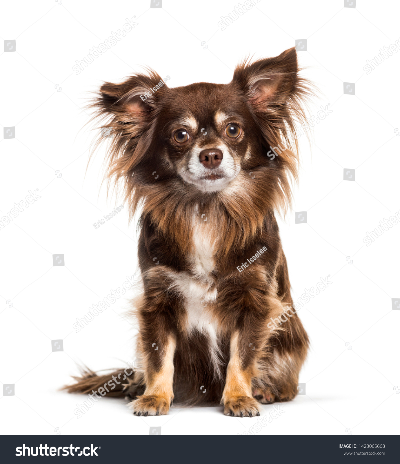 Chihuahua sitting against white background #1423065668