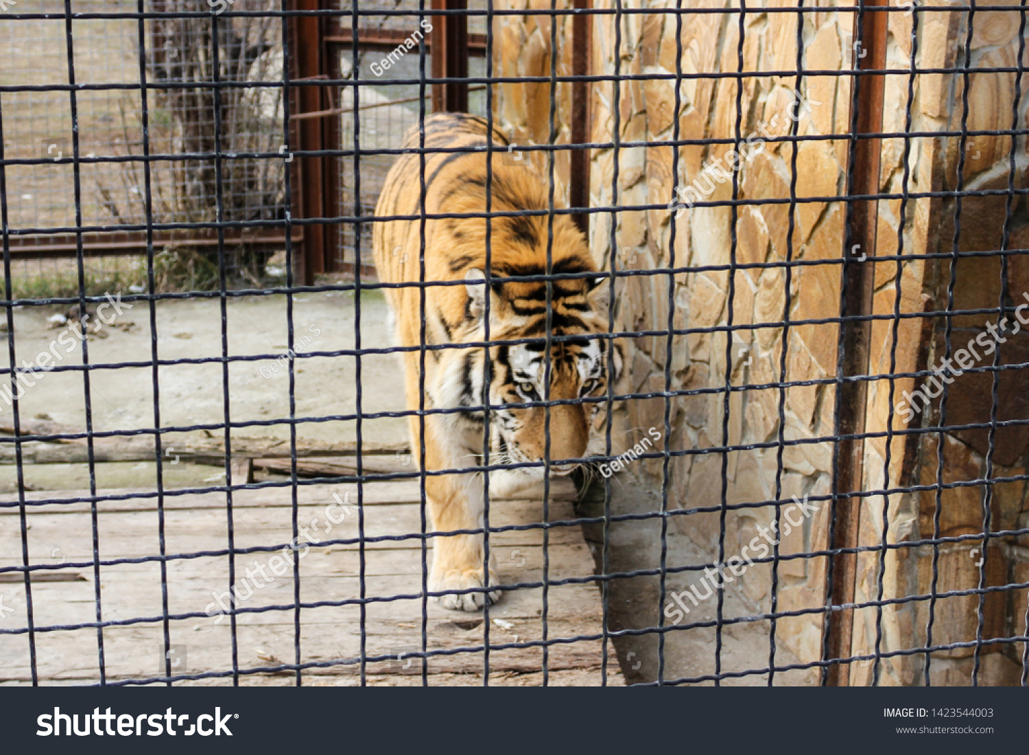 Tiger behind bars. Predators of the Belogorsk Safari Taigan Park. #1423544003