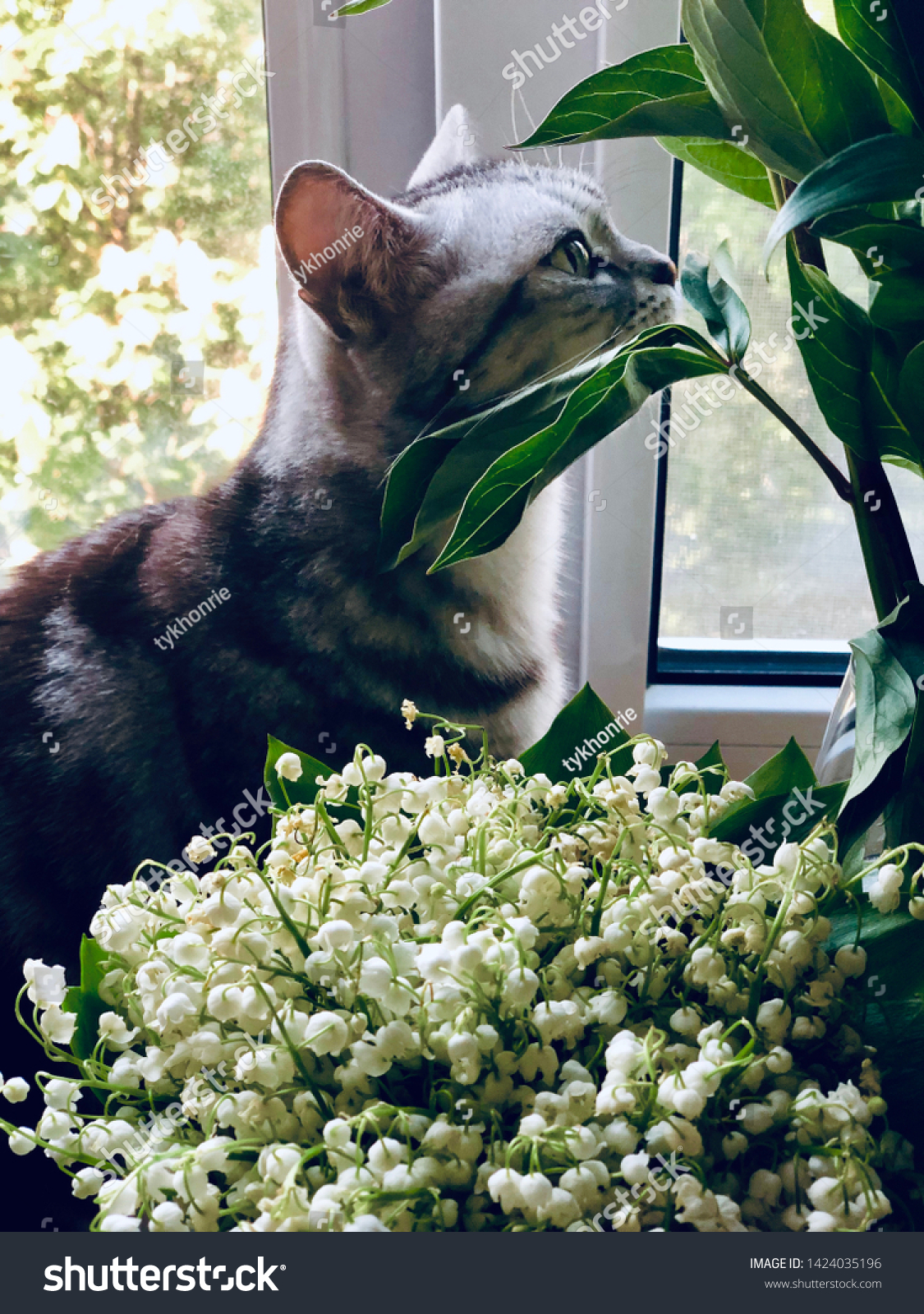 American shorthair cat sitting on the window silly smell the summer flowers lily of the valley, peony. Silver tabby kitty animal pet closeup.