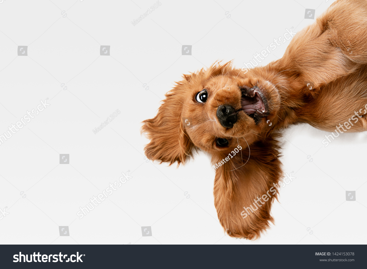 Pure youth crazy. English cocker spaniel young dog is posing. Cute playful white-braun doggy or pet is playing and looking happy isolated on white background. Concept of motion, action, movement. #1424153078