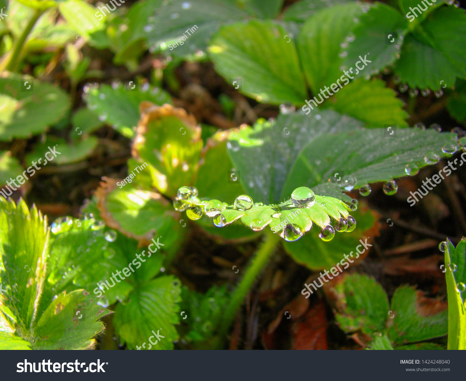 stock-photo-green-strawberry-sheets-with
