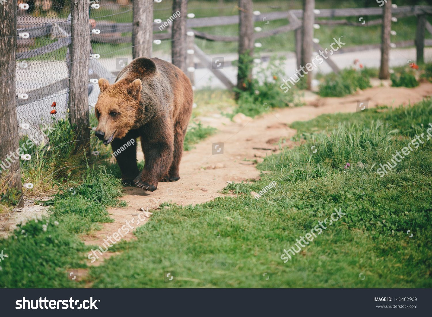 Grizzly bear walking - photo#23