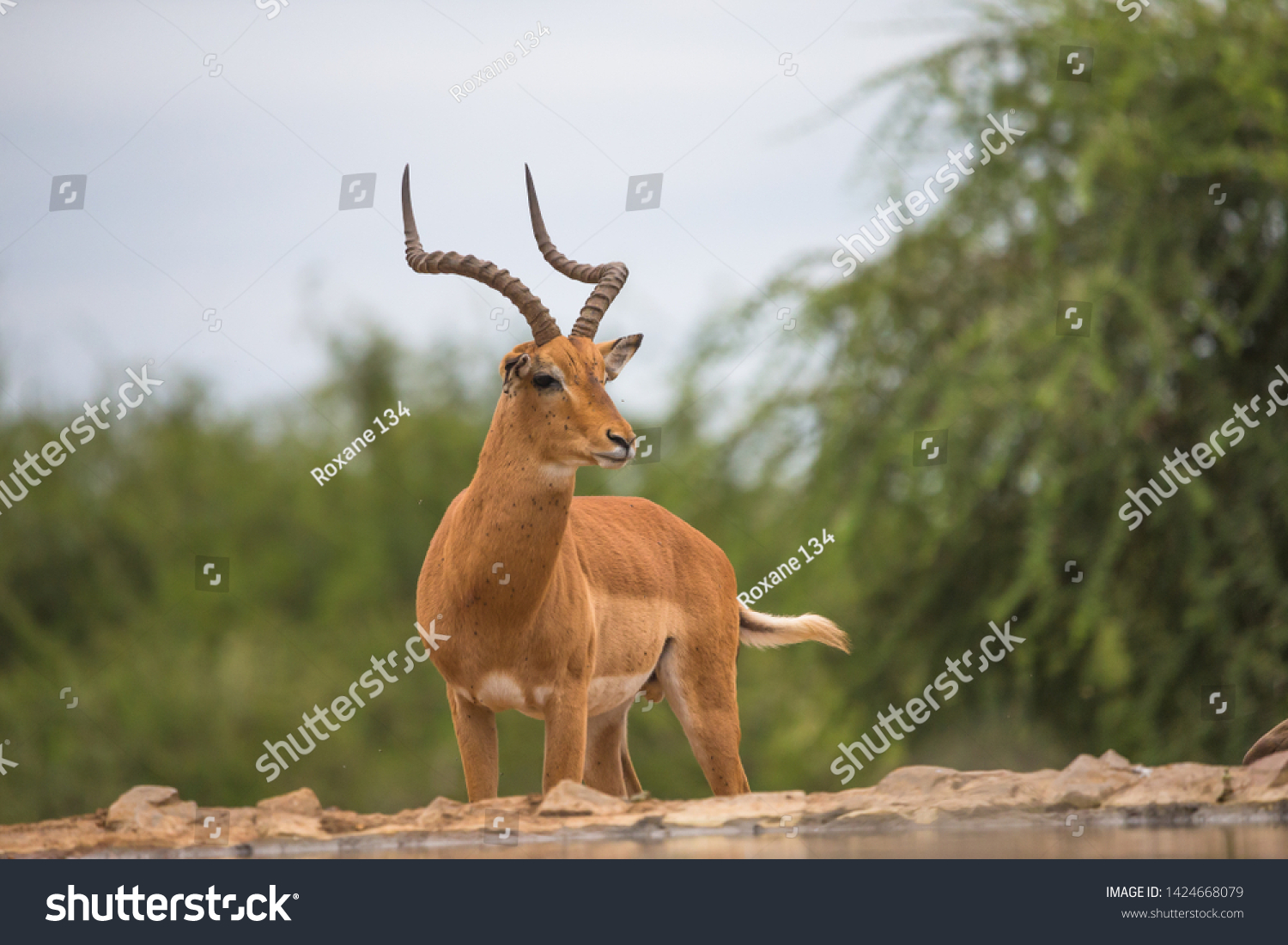 stock-photo-isolated-solitary-wild-male-
