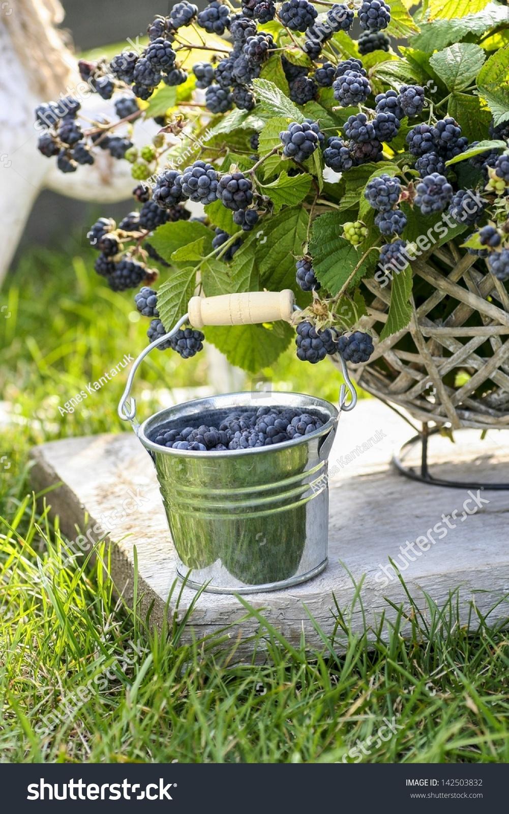 how to grow blackberries in a hanging basket