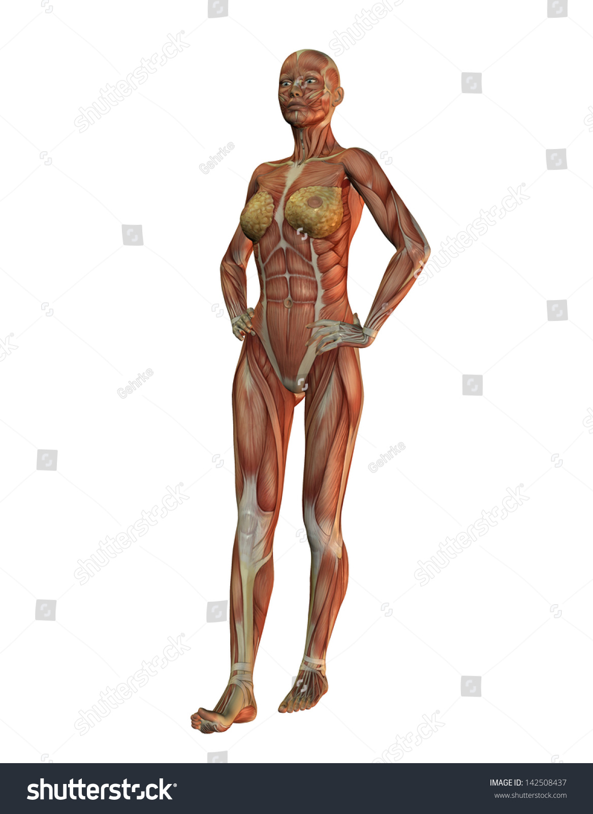 3 D Rendering Womans Anatomy Muscle Building Stock Illustration ...