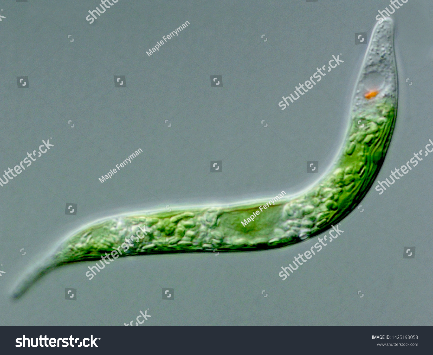 Light micrograph of the protist Euglena mutabilis showing squirming shape #1425193058