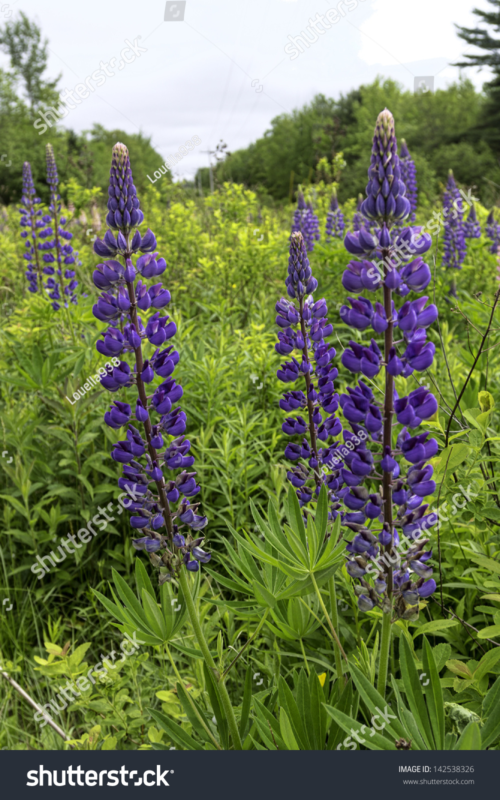 Beautiful Stalks Tall Lupines Purple Flowers Stock Photo Edit Now
