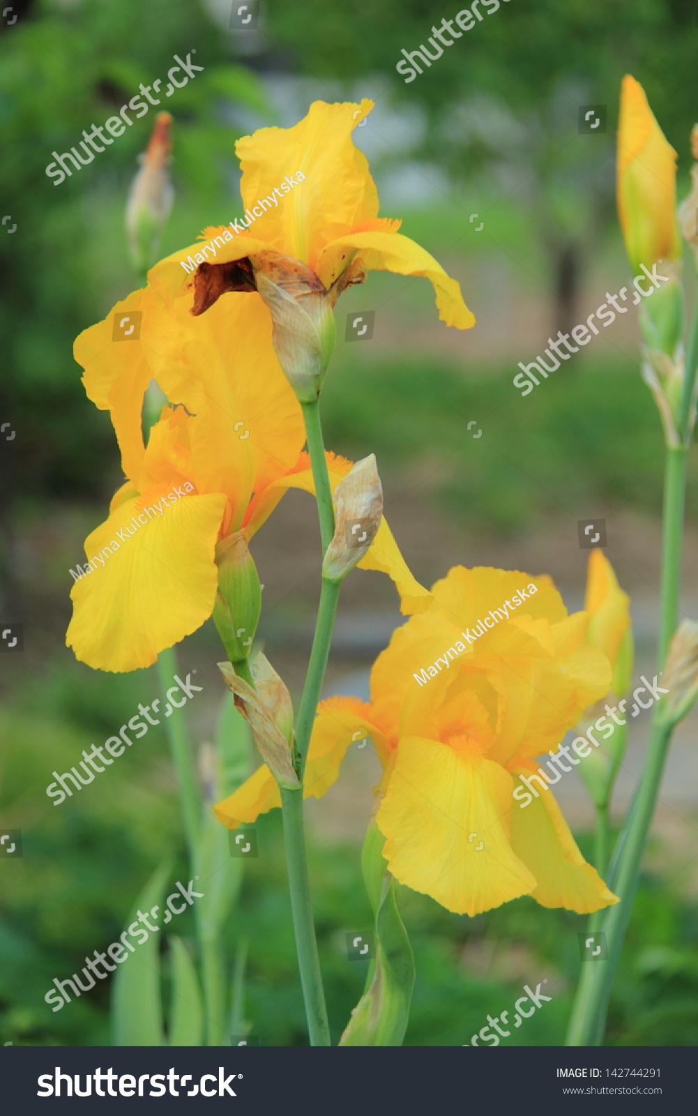 Iris flower blossoming in a spring garden ez canvas id 142744291 izmirmasajfo