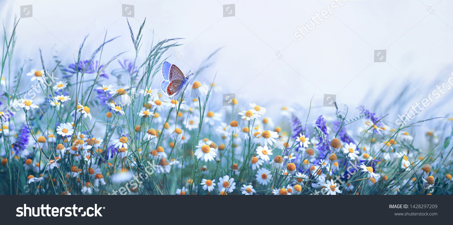 Beautiful wild flowers chamomile, purple wild peas, butterfly in morning haze in nature close-up macro. Landscape wide format, copy space, cool blue tones. Delightful pastoral airy artistic image. #1428297209
