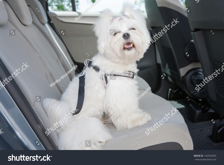 Small Dog Maltese Sitting Safe Car Stock Photo 142952095