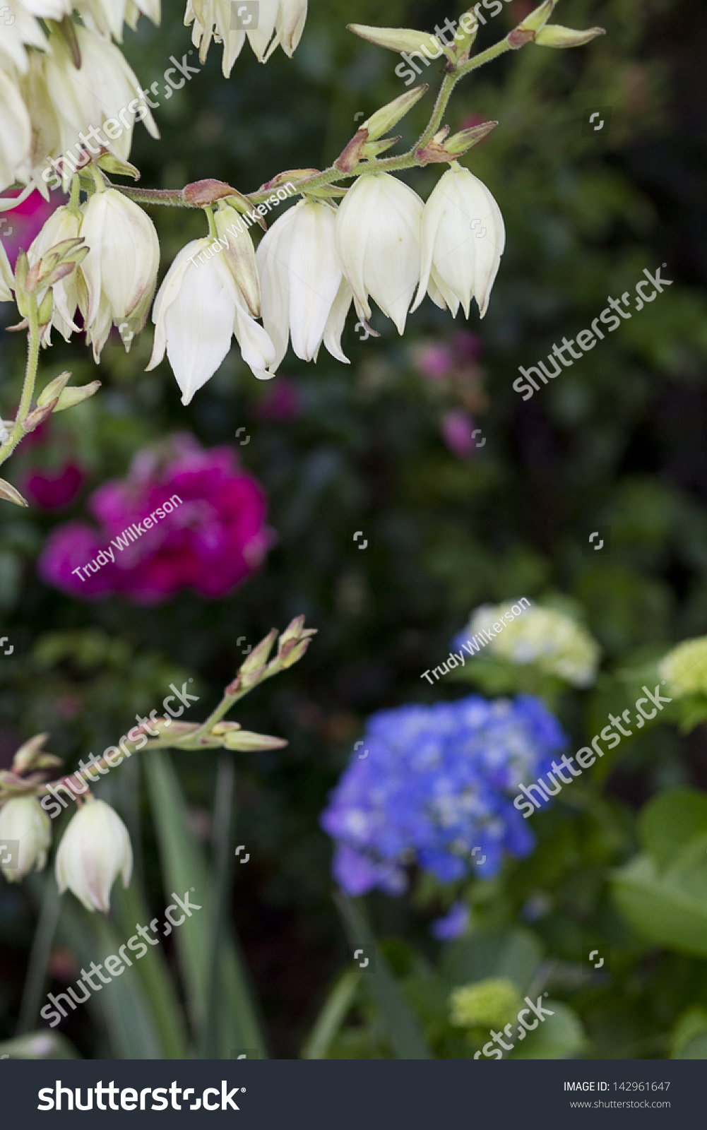 String White Flowers Yucca Plant Garden Stock Photo Edit Now