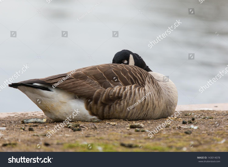 canada goose branta sporting life