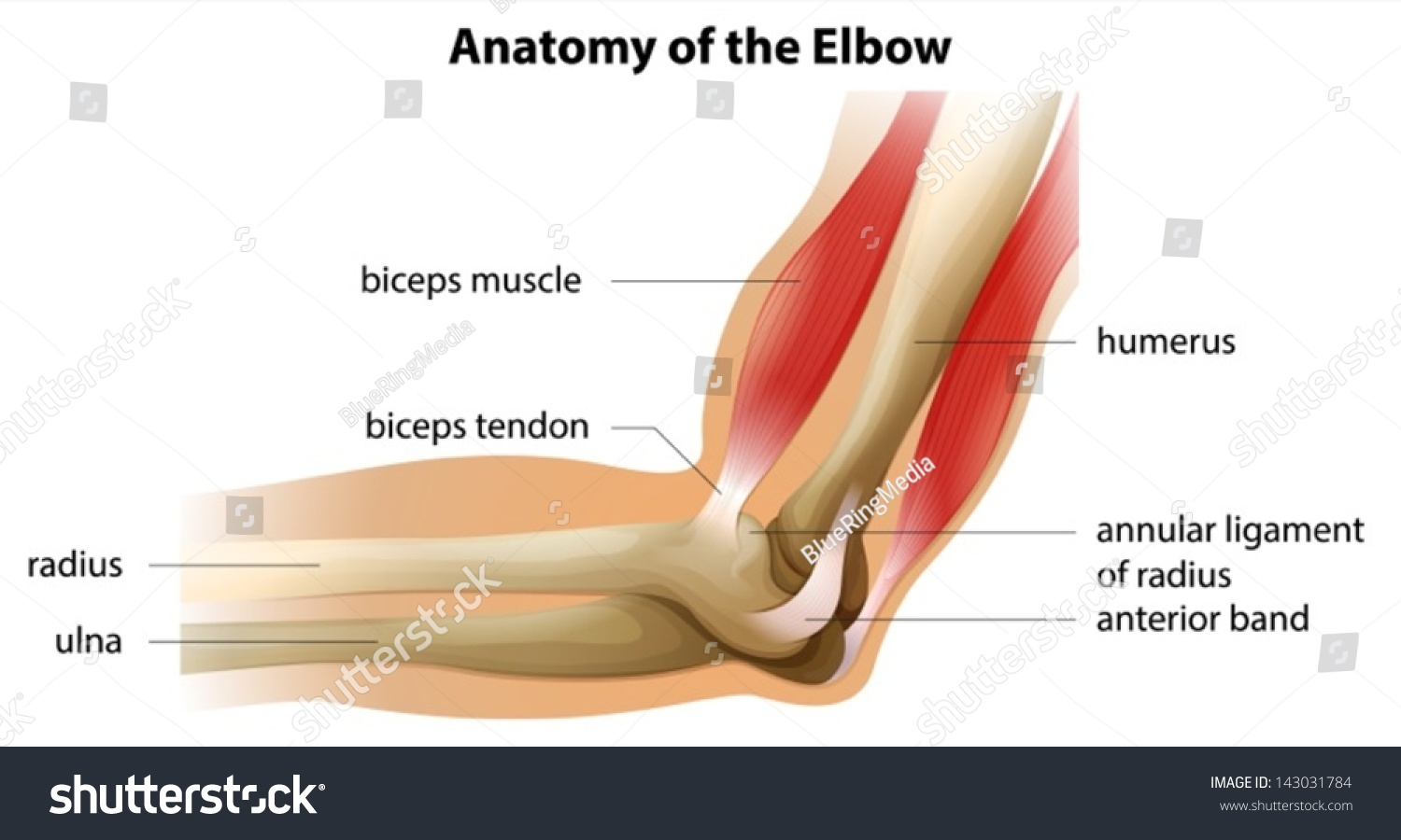 Illustration Showing Anatomy Elbow Stock Vector (Royalty Free ...