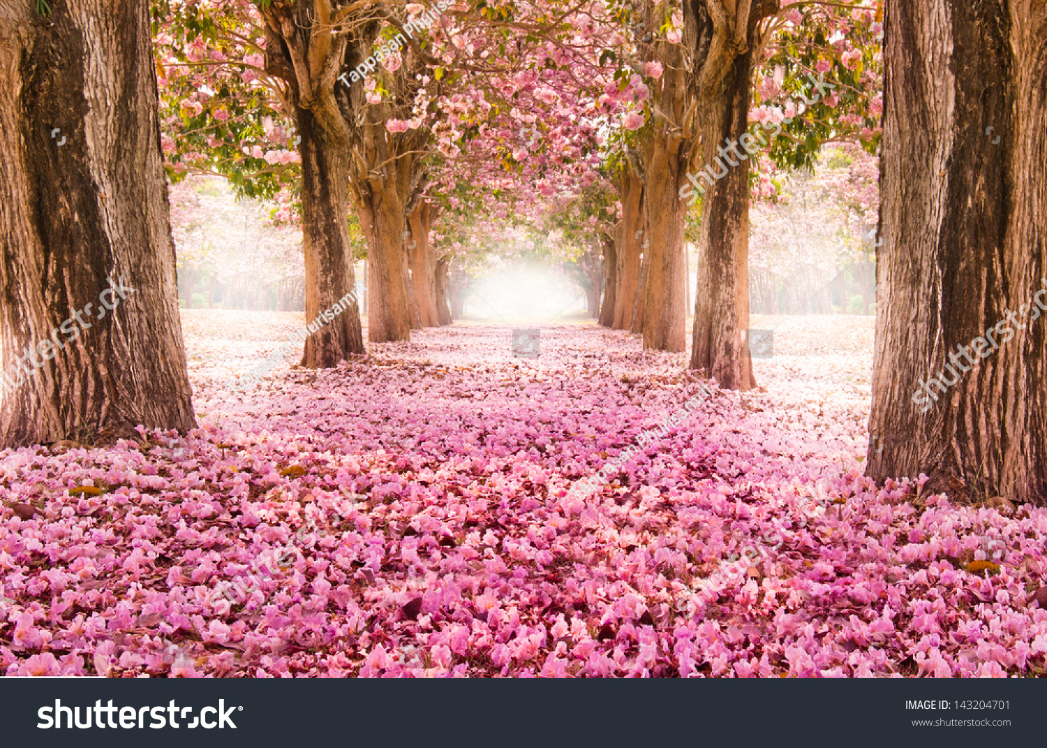 Romantic Tunnel Pink Flower Trees Stock Photo Edit Now 143204701