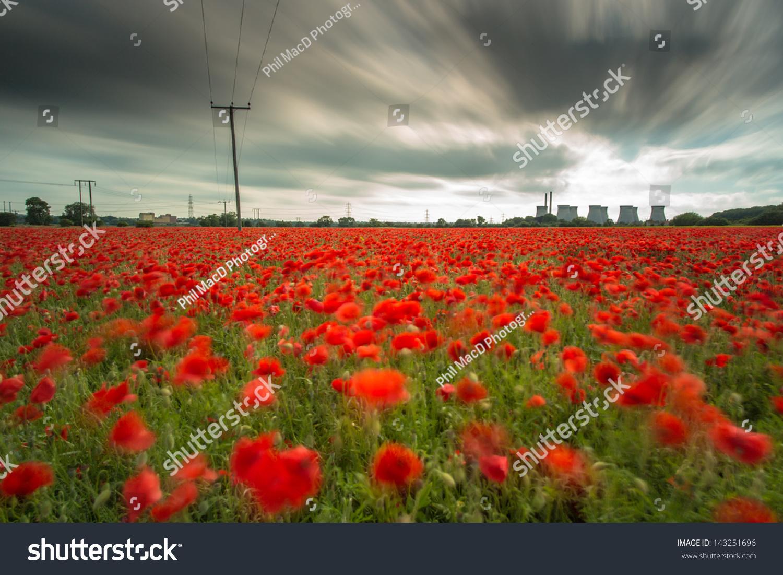 Poppy Power Bright Red Flowers Field Stock Photo Edit Now